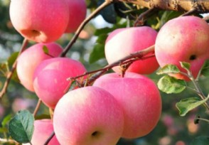 现在苹果多少钱一斤 后期价格还会上涨吗