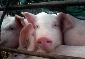 猪价回落养殖成本上升 猪肉供应市场会进一步改善吗