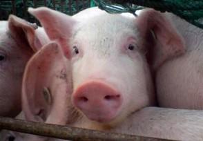 全国今日生猪价格11月过后或迎来新一轮上涨