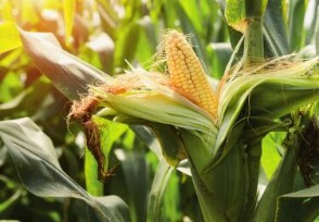 现在玉米多少钱一斤2020玉米价格行情走势