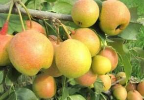 苹果梨多少钱一斤属于转基因水果吗?