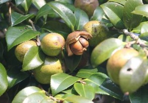 茶籽多少钱一斤有什么作用与功效