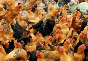 母鸡多少钱一斤2020最新价格行情走势!