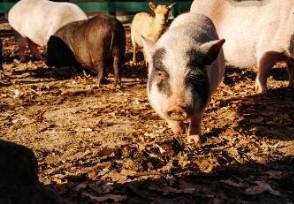 土猪多少钱一斤比一般猪肉贵多少?