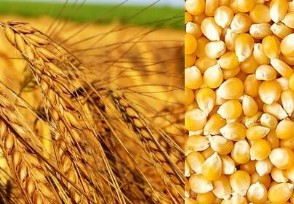 玉米价格会超过小麦吗 来看看最新行情
