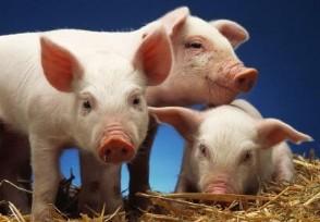 明年养猪的行情怎么样 元旦猪价下跌吗?