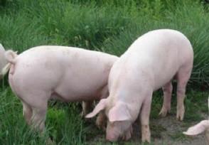 """预计2021年猪价向下走 会降低至""""10元时代""""吗"""