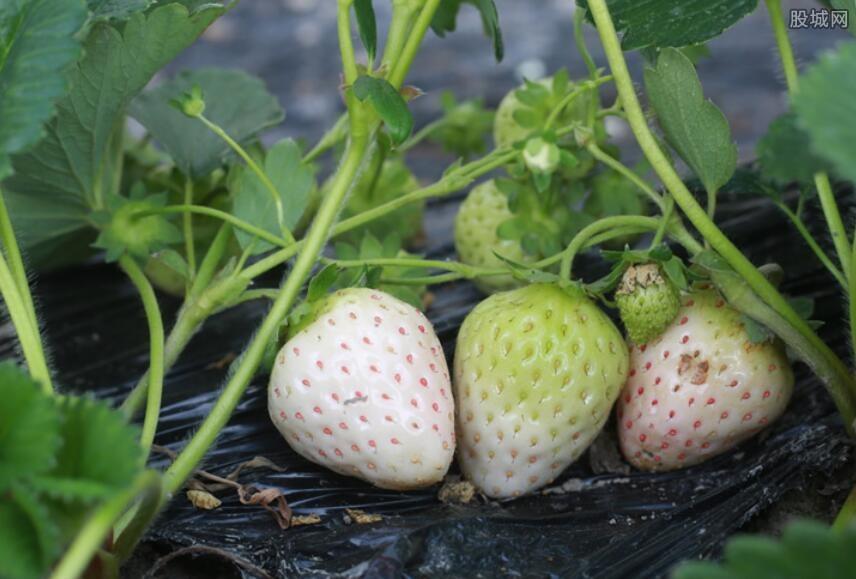 白草莓最新价格