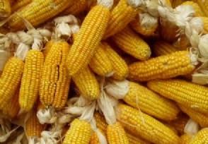 玉米现在多少钱一斤2021年后市走势如何?