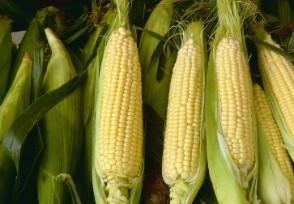 现在玉米多少钱一斤2021年价格行情走势
