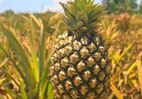 菠萝涨价近3倍创新高收购价为2.8元至3元/斤