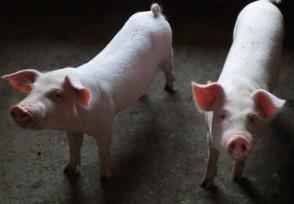 猪肉价降还是涨2021猪价走势如何?