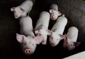 今年猪价行情走势如何现在猪肉多少钱一斤?