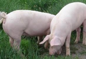 生猪价格下跌 今年猪价为什么一降再降