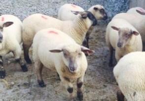 羊肉涨价近30% 什么原因导致价格上涨?