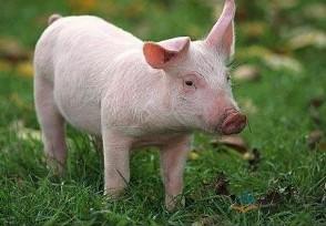 全国猪肉行情分析下半年生猪走势如何