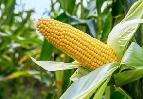 玉米价格为什么一直涨目前市场价多少钱一斤