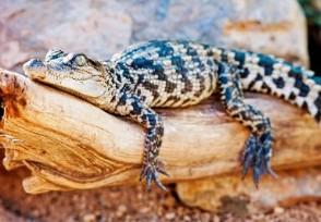 网购小鱼收到泰国鳄 这种鳄鱼千万别买回家养!