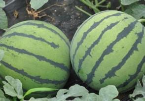 8424西瓜已大量上市市场价多少钱一斤