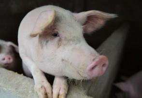 生猪生产保持恢复端午节猪肉价格会不会上升?
