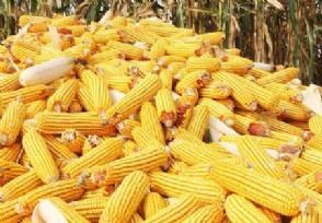 玉米现在多少钱一斤今日最新价格行情更新