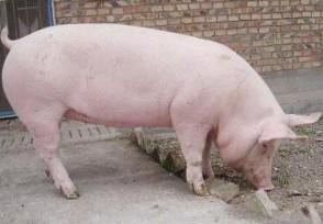5月中旬生猪价格 6月猪价还继续下跌吗