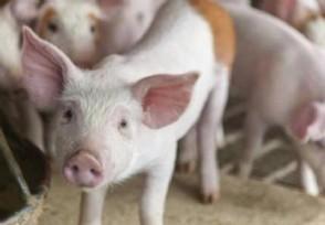 生猪价格持续下降 今日猪价多少钱一斤