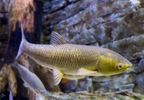 淡水鱼价格上涨 下半年鱼价还会下跌吗?