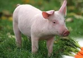 6月26日生猪价格行情 全国多地猪价上涨